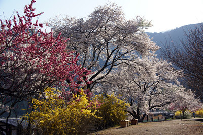 yasuno_sakura_4.jpg