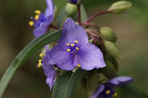 紫露草2.jpg
