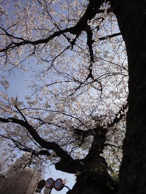 Heiwa_sakura01.jpg