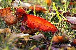 sakura_leaves.jpg